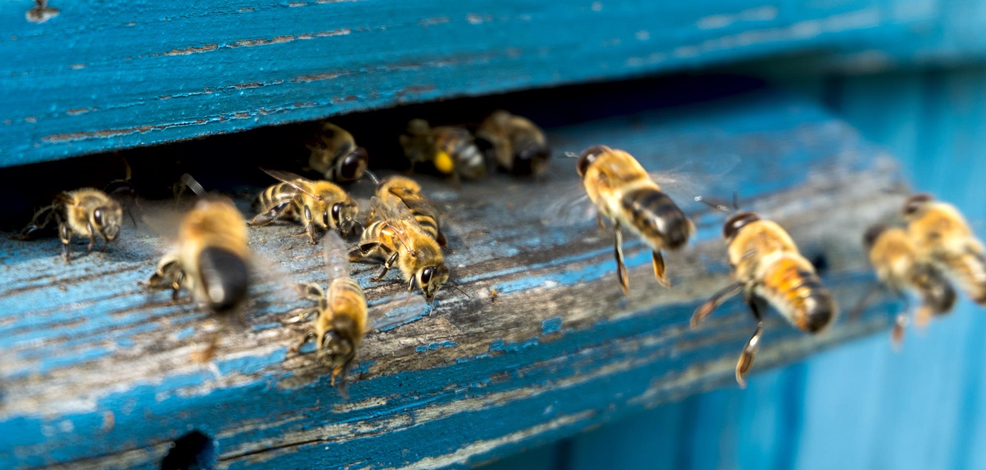 Mleczko pszczele – młodość zachowana na dłużej