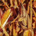Chwasty mogą być prawdziwą plagą rolnictwa